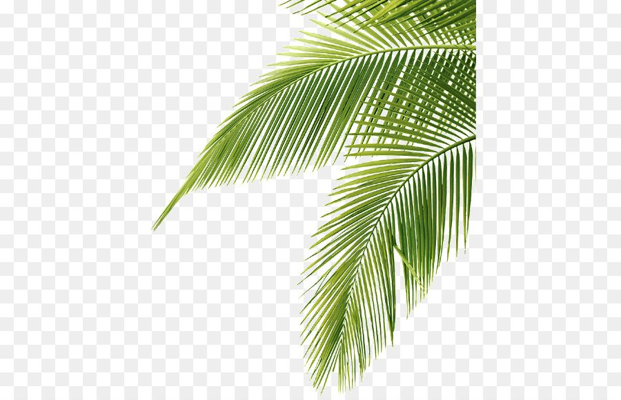 de palmier png les palmiers feuille