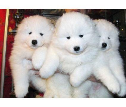 Bqdkponx Samoyed Puppies For Adoption Female Samoyed Puppy In Samoyed Puppy Samoyed Dogs Samoyed