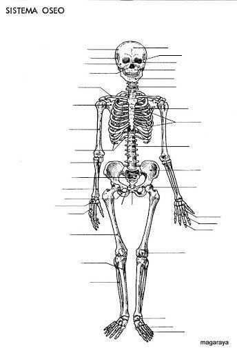 LAMINAS DE LOS HUESOS PARA IMPRIMIR CON Y SIN NOMBRES   esqueleto ...