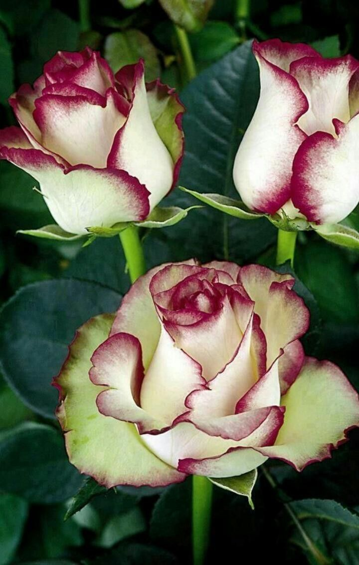 Pin by ghayur on beautiful flowers and roses pinterest art pics