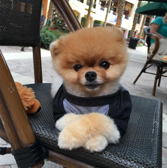 Httpsinstagramcomjiffpom AA Pets Pinterest Instagram - Jiff the pomeranian is easily the best dressed model on instagram