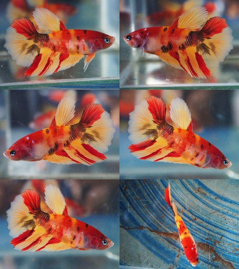 emerald star koi hm female 00313 | Beautiful Betta Fish | Pinterest