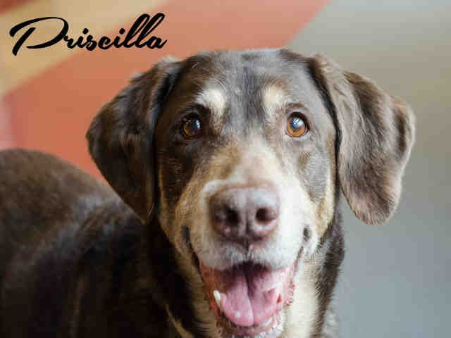 PRISCILLA (SWEET SENIOR) PITTSBURGH, PA....PetHarbor.com: Animal Shelter adopt a pet; dogs, cats, puppies, kittens! Humane Society, SPCA. Lost & Found.