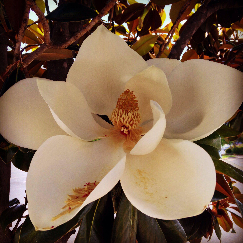 Magnolia Trees Blooming Louisiana Magnolia Trees Bloom Magnolia