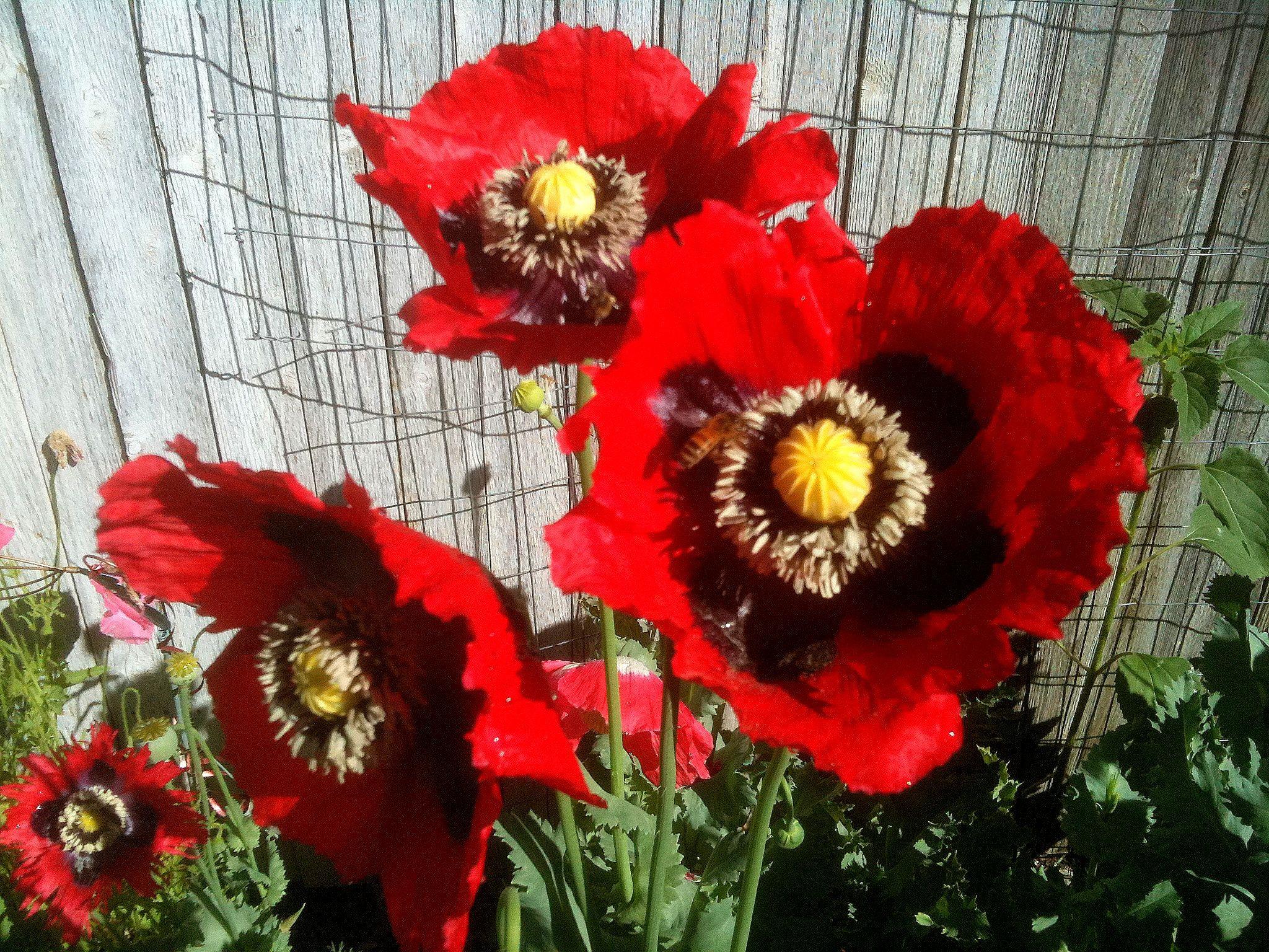 35 Perennial Flower Seeds Papaver Somniferum Pepperbox Poppy
