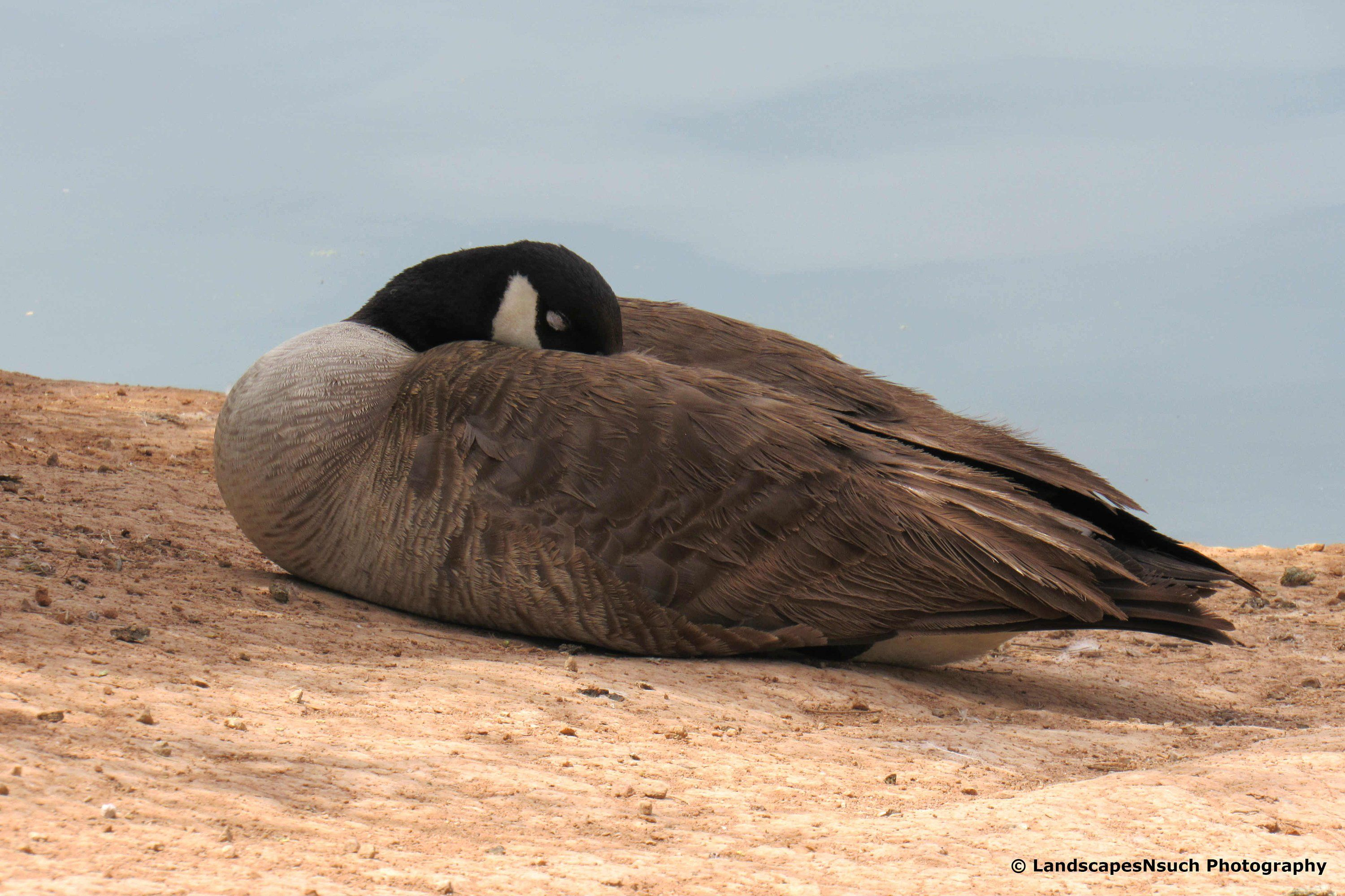 Sleeping Goose Etsy In 2020 Take A Nap Photo Paper Photo Lab