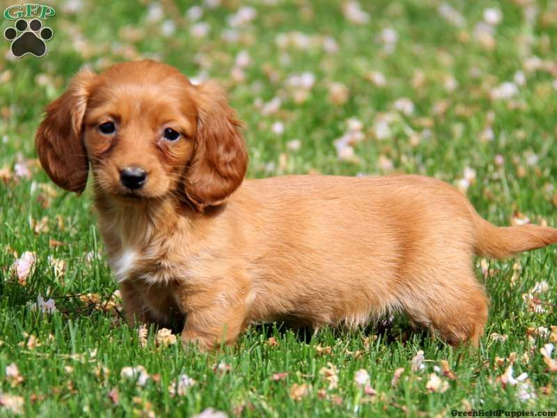 Carly Dachshund Puppy For Sale In Strasburg Pa Greenfield