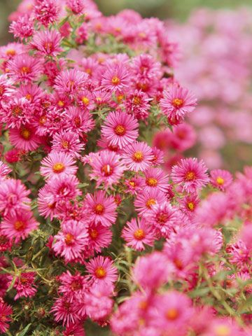 Top fall flowers for your garden pink blue butterfly for Popular fall flowers