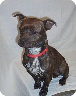 Bellbrook Oh Boston Terrier Dachshund Mix Meet Olive A Dog