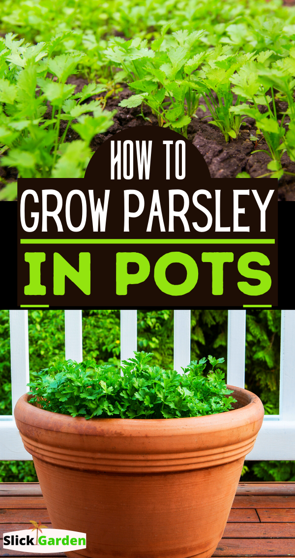 How To Grow Parsley From Clippings In 2020 Container Gardening Vegetables Growing Parsley Parsley Plant