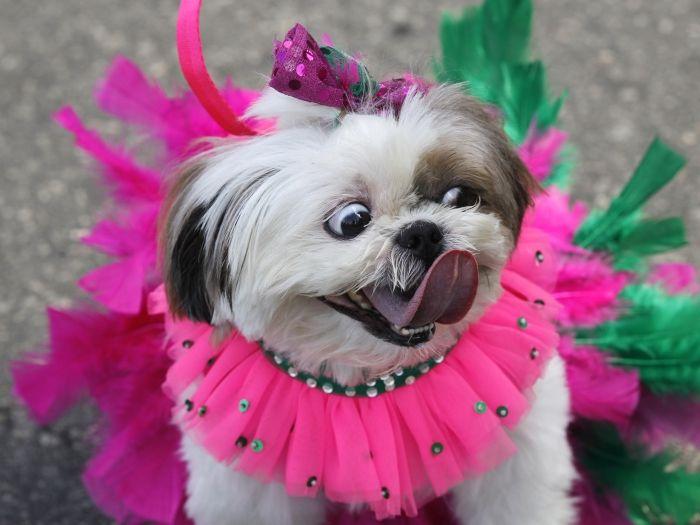 cachorro e carnaval - Pesquisa Google