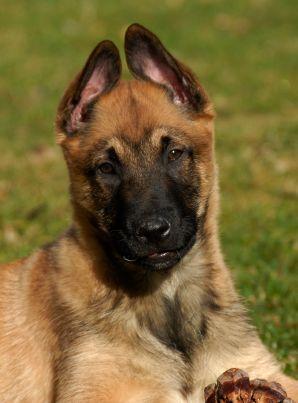 tervuren dog photo istock_000005340068xsmall.jpg