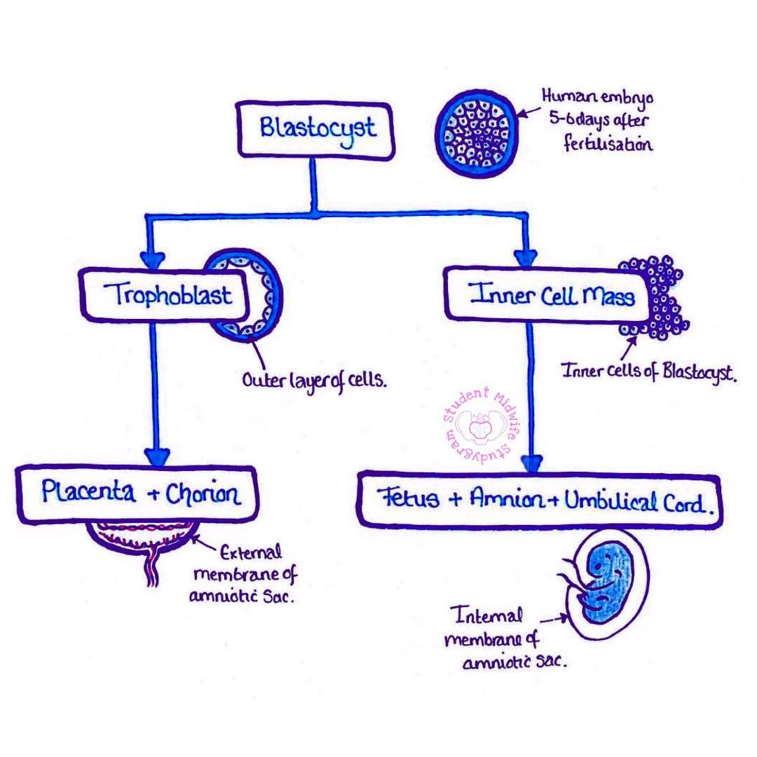 the development of the blastocyst blastocyst development studygram studentmidwife studynotesfordays studentmidwife studentlife fertilisation  [ 1080 x 1080 Pixel ]