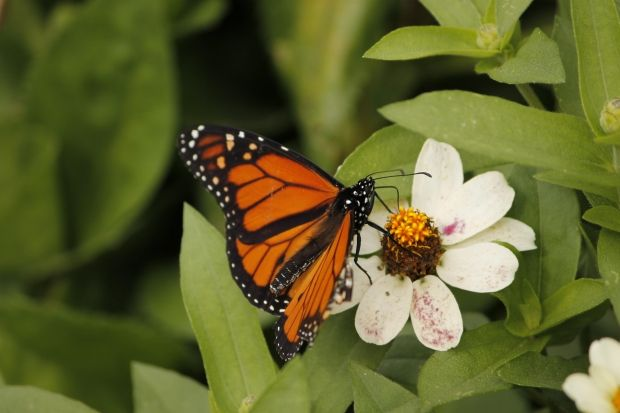 Monarch butterflies occasionally make it to our part of the woods, love any kind of butterfly