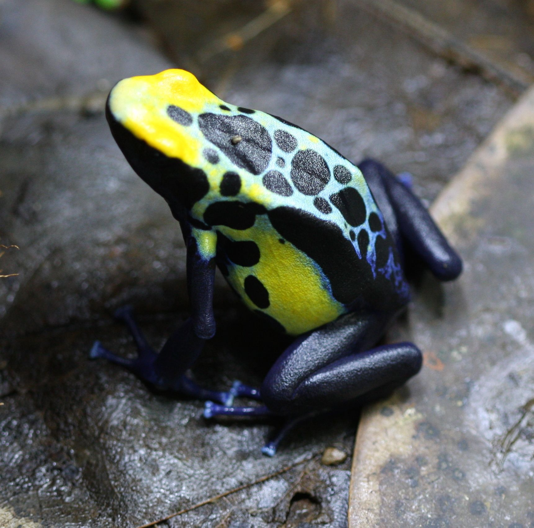 robertus-female01_0462   Fantastic Frogs   Pinterest   Ranas ...