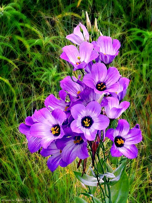 Beauty In The Grass By Richo Blue Bell Flowers Beautiful Flowers Wild Flowers