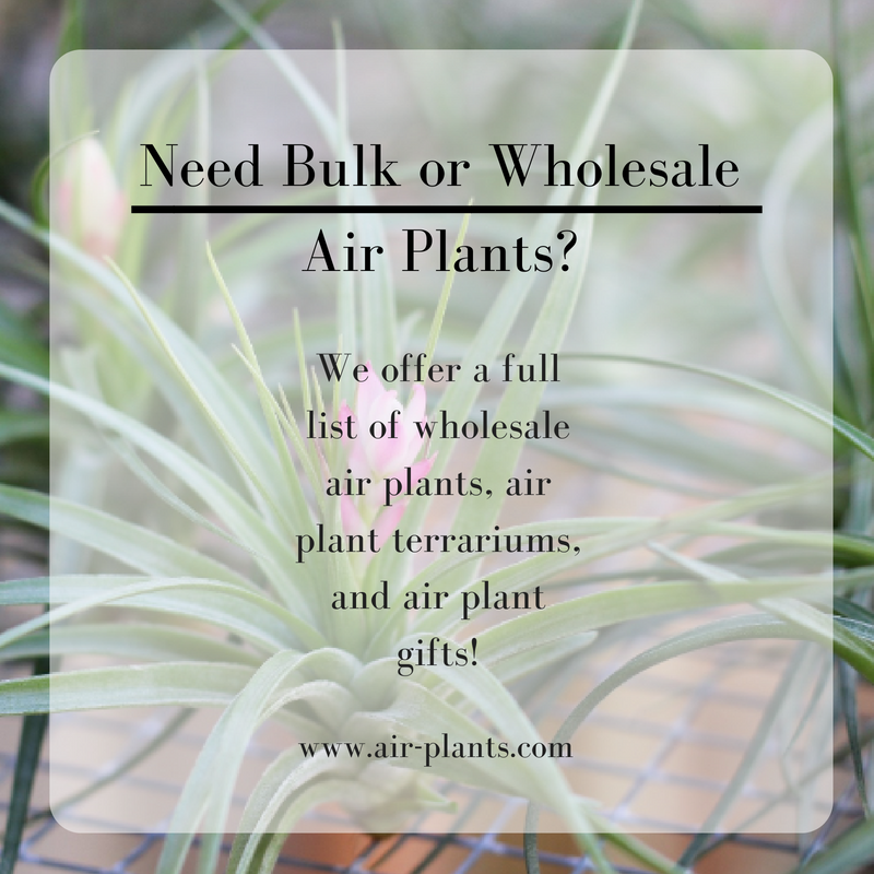 Are You Looking For Bulk Or Wholesale Tillandsia Air Plants We
