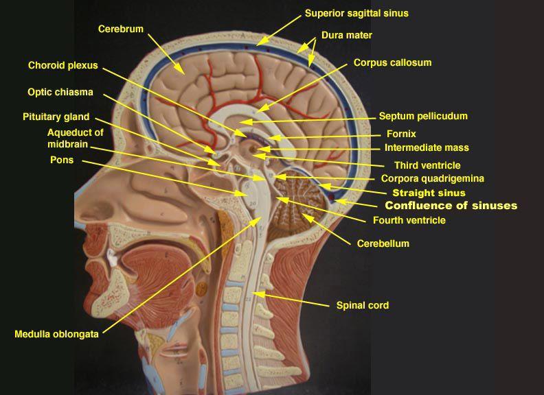 Hypothalamusmodelimageslabeled Labeled Brain Model Http