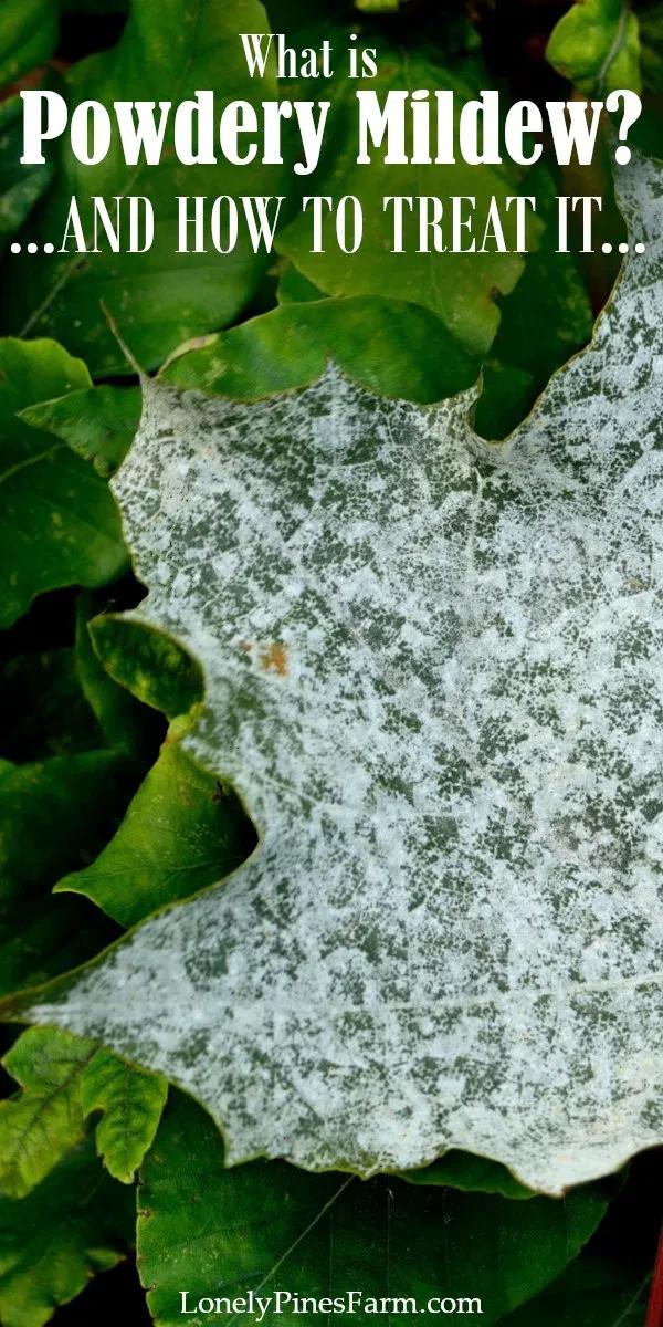 How To Identify Treat Prevent Powdery Mildew Powdery Mildew Planting Vegetables Powdery Mildew Spray