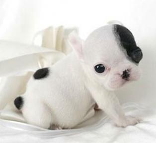 Baby Bulldog Wallpapers Cute Baby Puppies