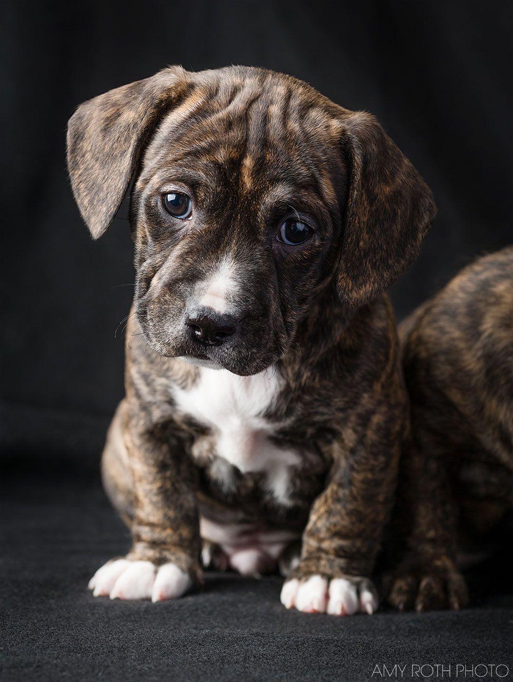 Puppy Nursery Decor Dachshund Pitbull Puppies Picture Dog