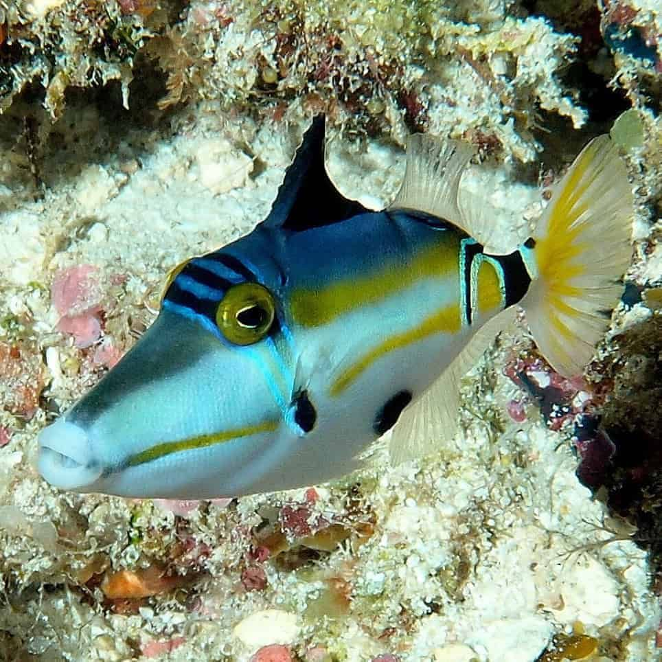 Pin On Triggerfish