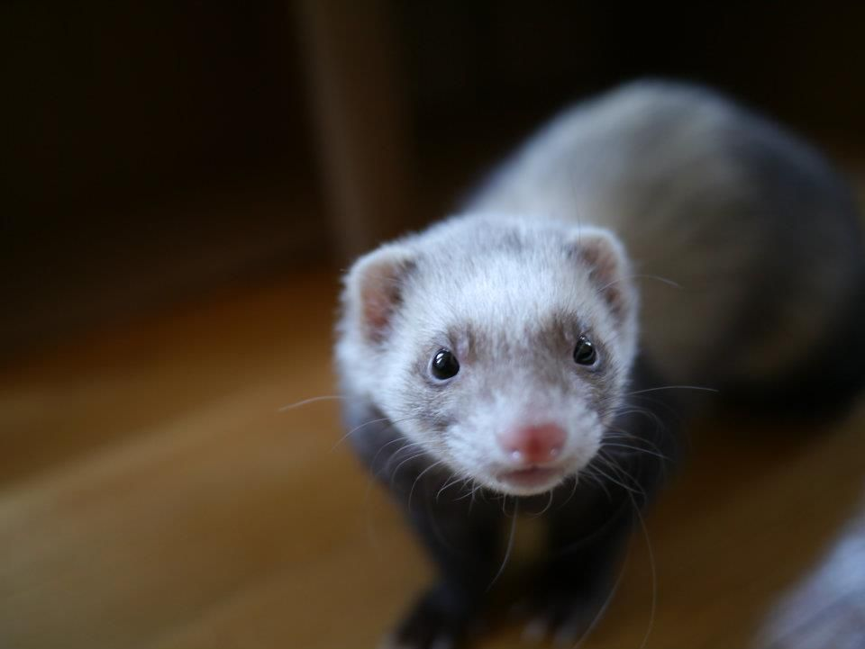 Pixie The Adorable Ferret Cute Ferrets Ferret Fur Kids