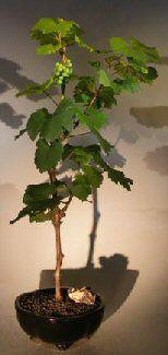 Wine Grape Bonsai TreeChardonnay
