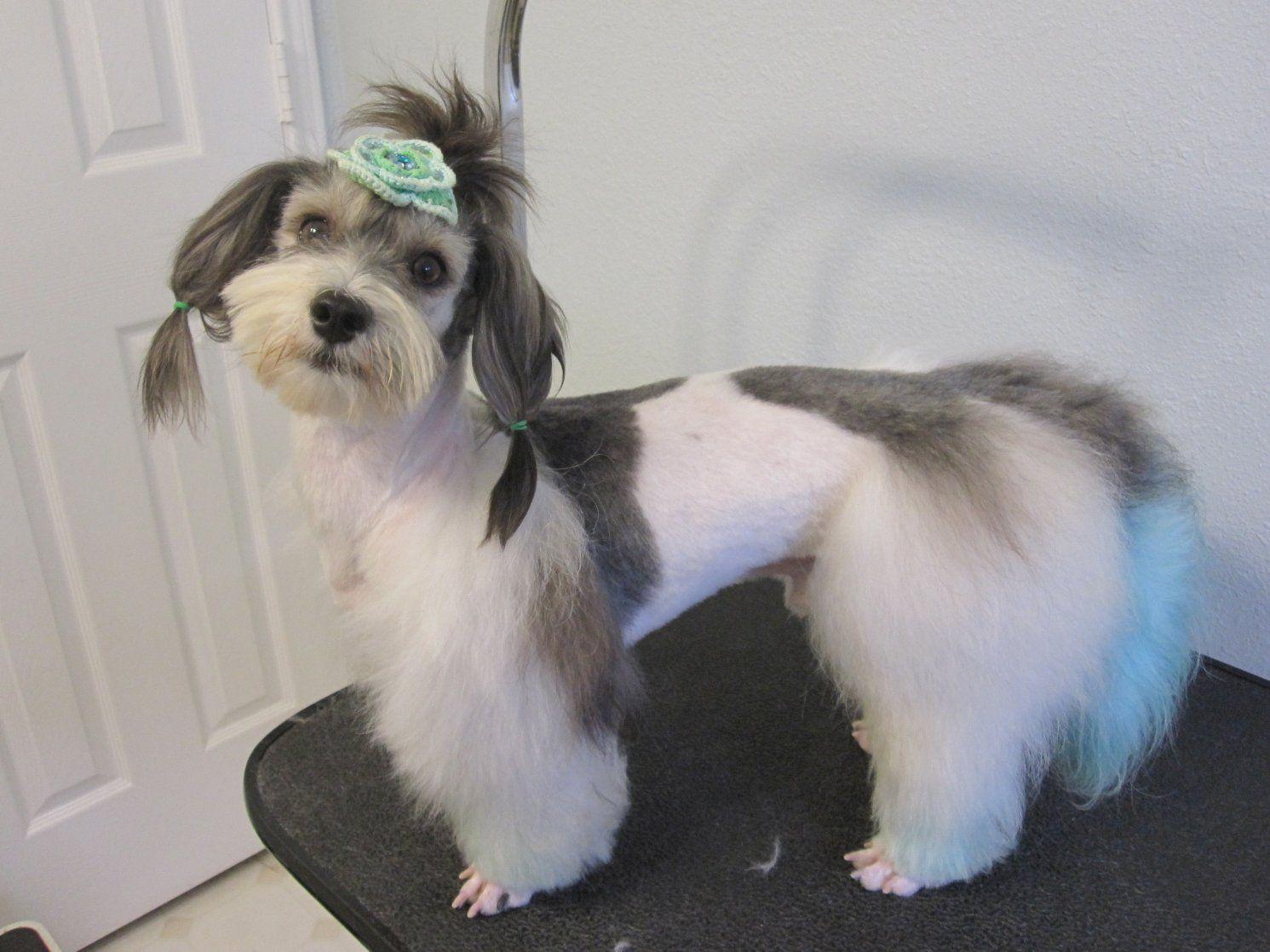 havanese grooming styles | Havanese Puppy Cut Havanese dog with ...