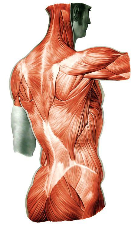Anatomy   Anatomy   Pinterest   Anatomy, Anatomy reference and Human ...