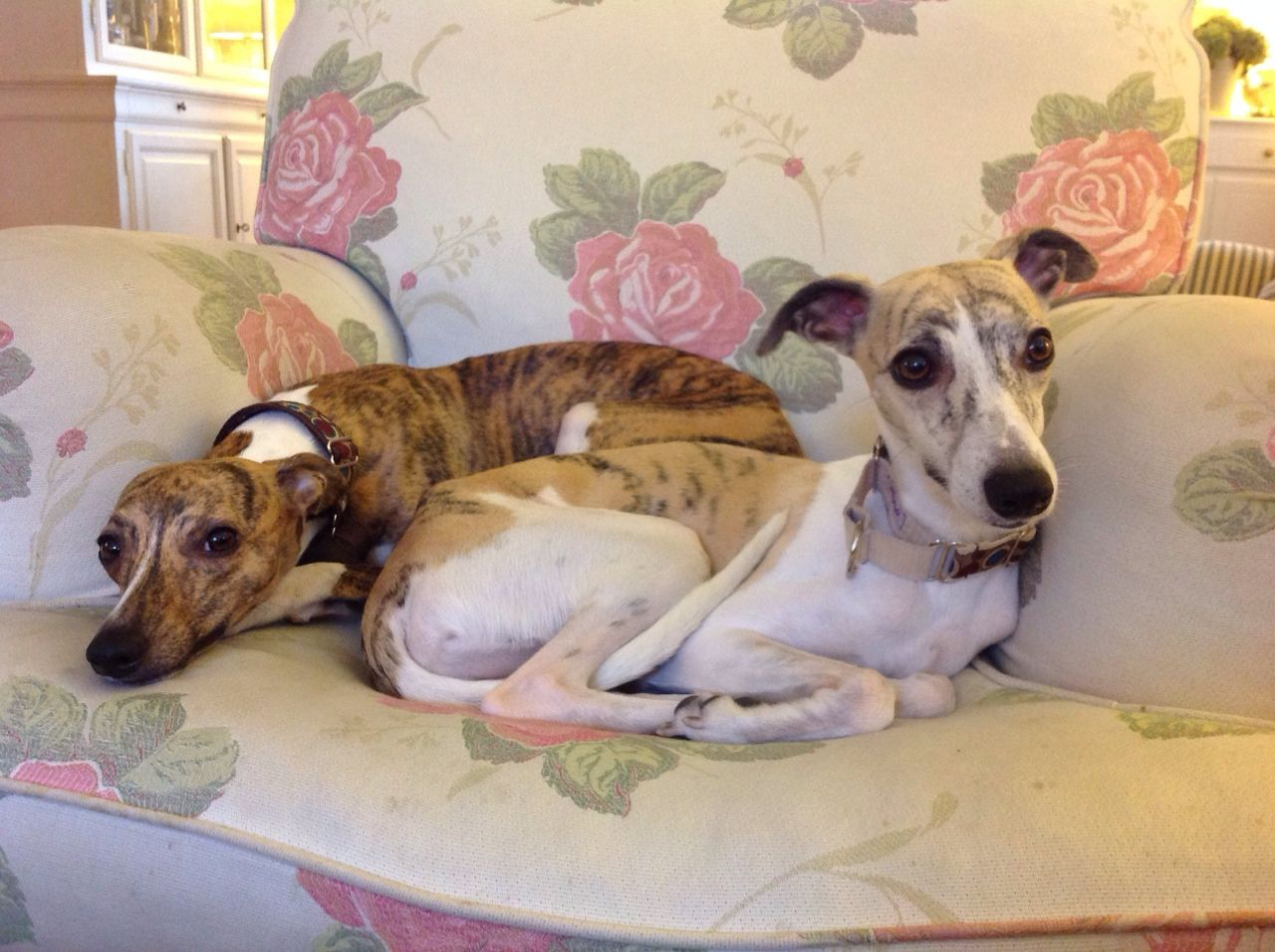 love-of-whippets — thedutchsighthound: Today we had a great day...