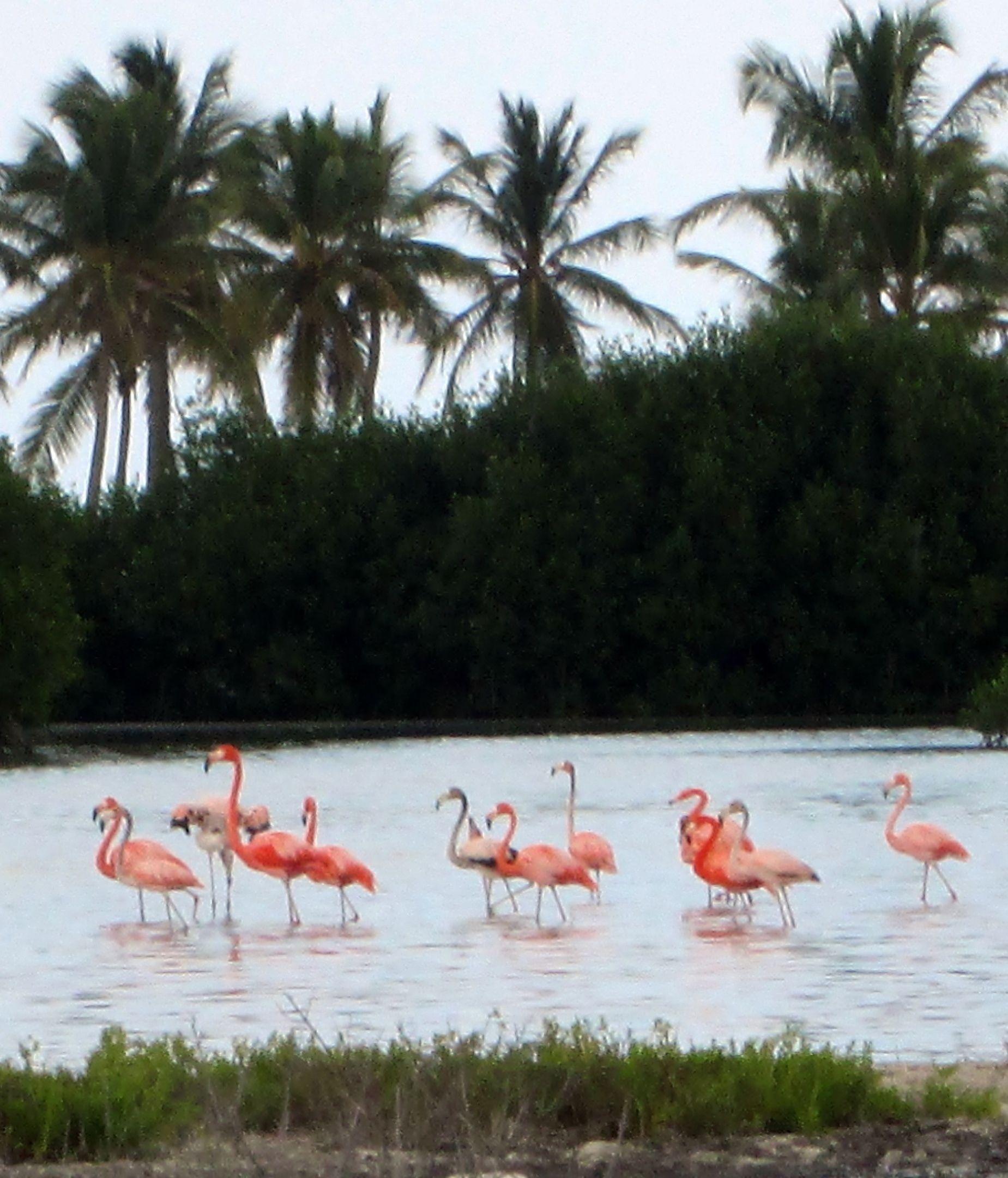 Flamingoes, la Gonave Island, Haiti Caribbean islands