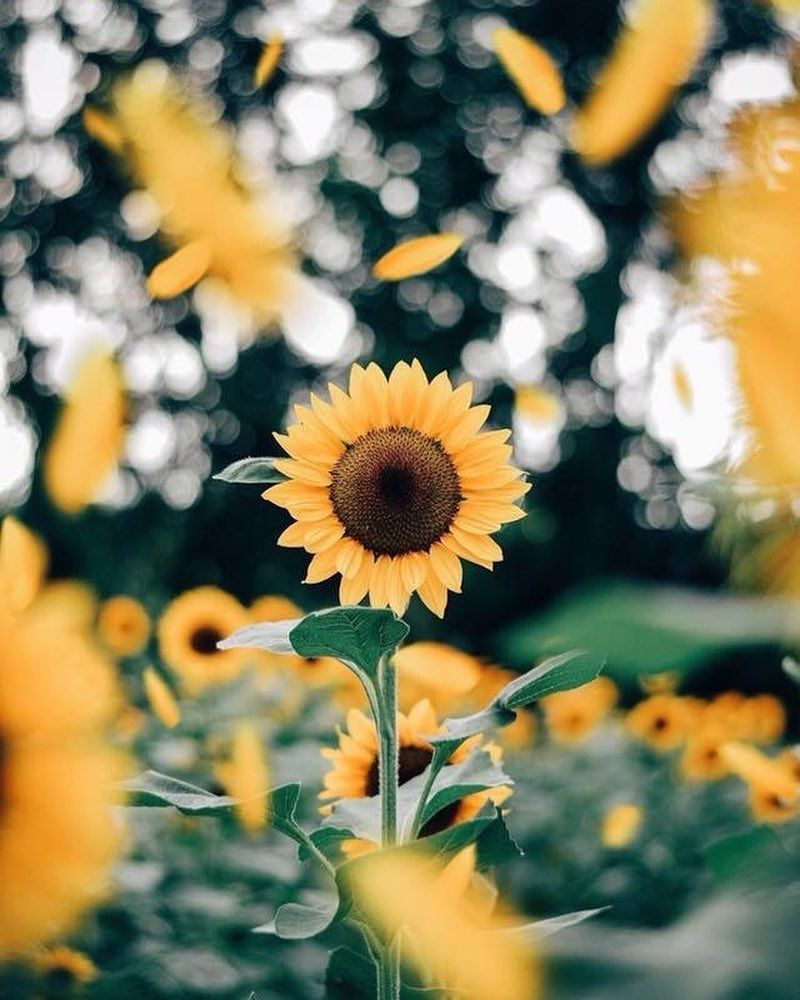 Pocket Full Of Sunshine Sunflower Yellow Retro Artistic