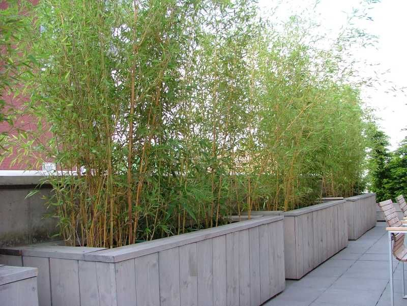 Bamboo op dakterras wil je een bossige plant met veel nieuwe uitlopers en scheuten dan moet je - Bamboe in bakken terras ...