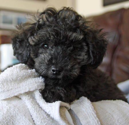Sydney The Poodle Mix Looks Like Roxie Wagner S Dog Poodle