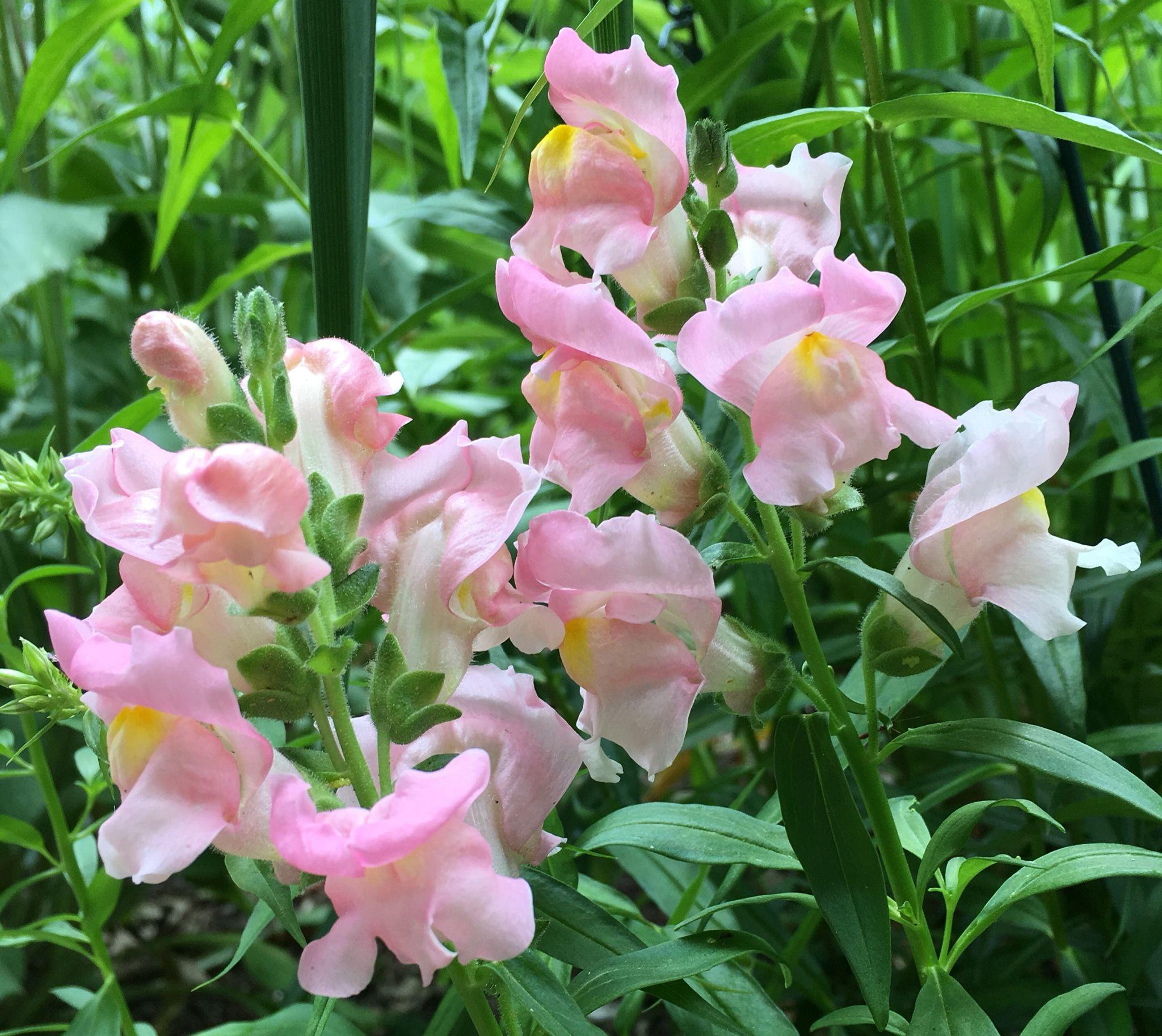 Sonnet Pink Snapdragon Snapdragons Pinterest Flowers