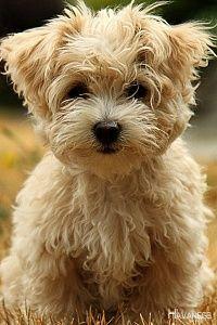 Havanese Pup havanesebaby Kleine hunde