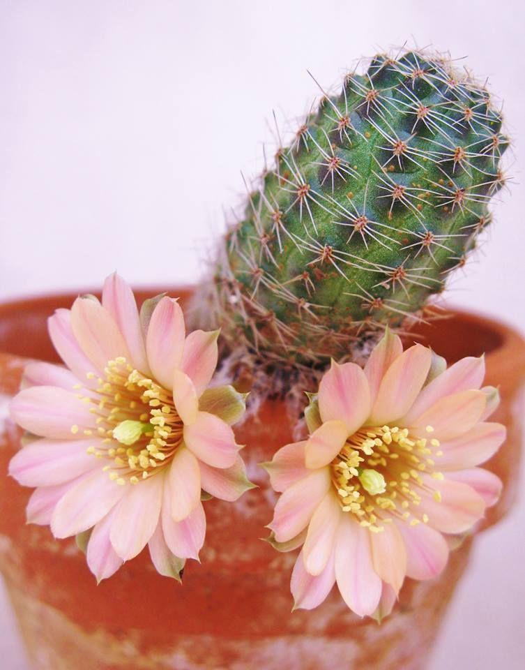 Cactus fleuri | Cactus