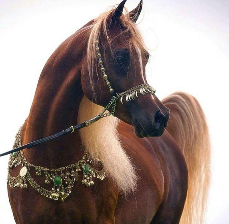 Caballo rabe casta o avellana caballos pinterest for Accesorios para caballos