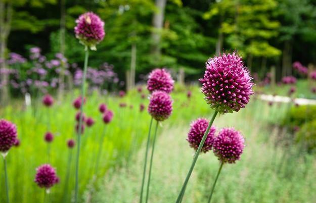 Dazzling Drumstick Alliums Garden Design Allium Flowers Allium Garden Garden Design