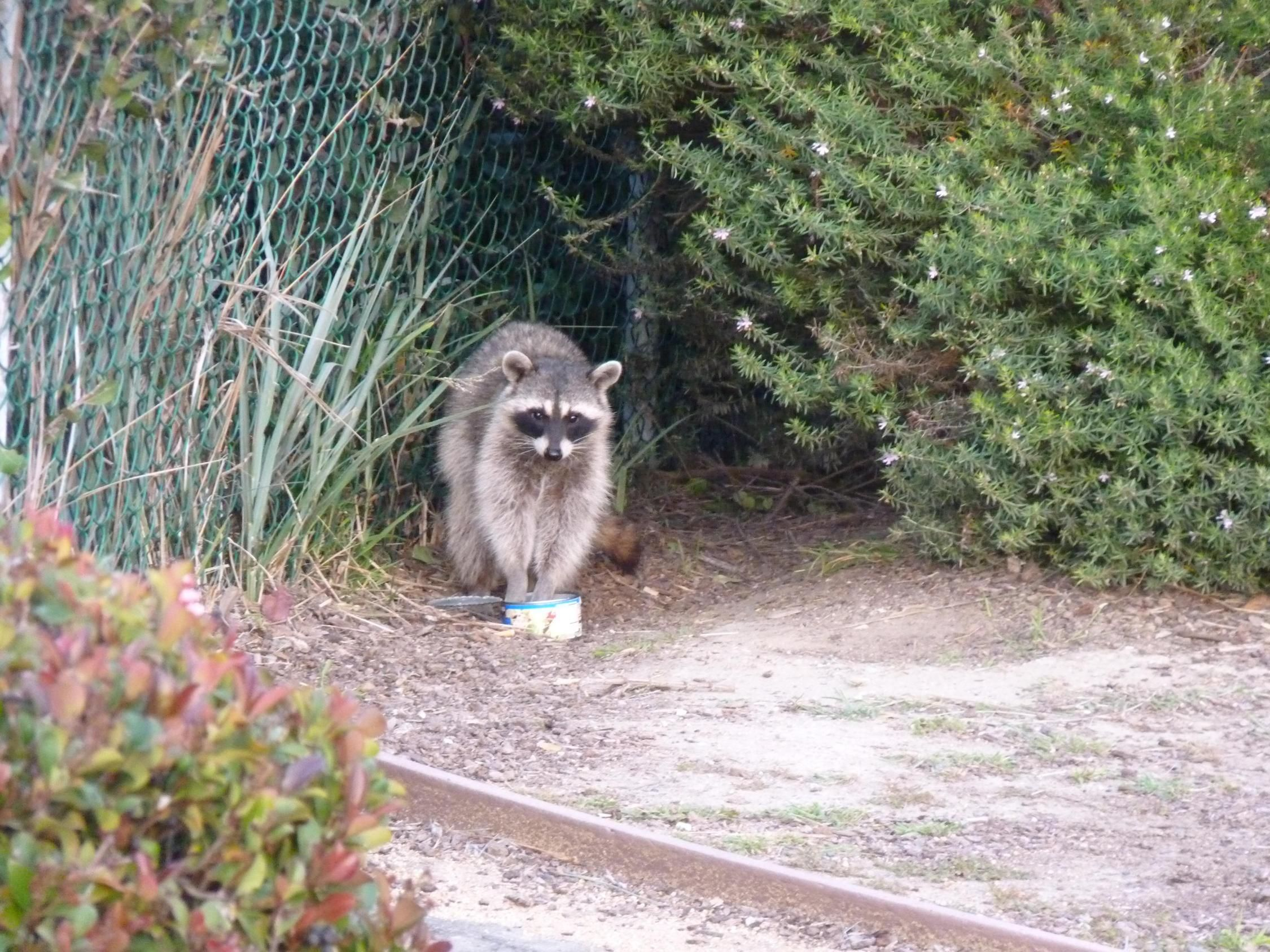 Remove Raccoon Bradenton Fl Omnivores Eats Trash Raccoon Raccoon Removal Wildlife