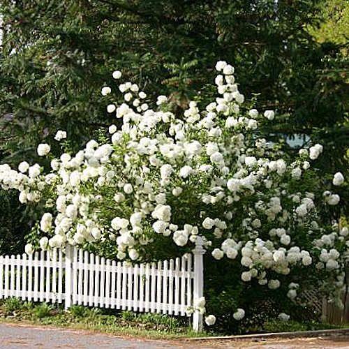 Viburnum opulus roseum viorne boule de neige jeune plante - Arbre boule de neige ...