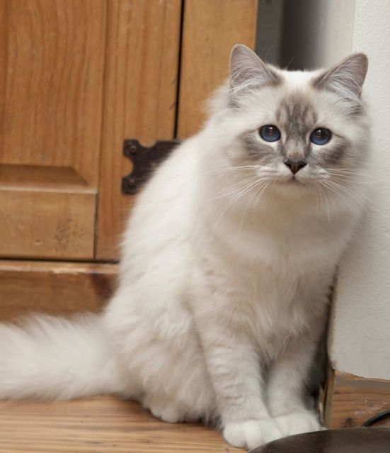 20 Most Popular Long Haired Cat Breeds With Images Cat Breeds Birman Cat Beautiful Cats