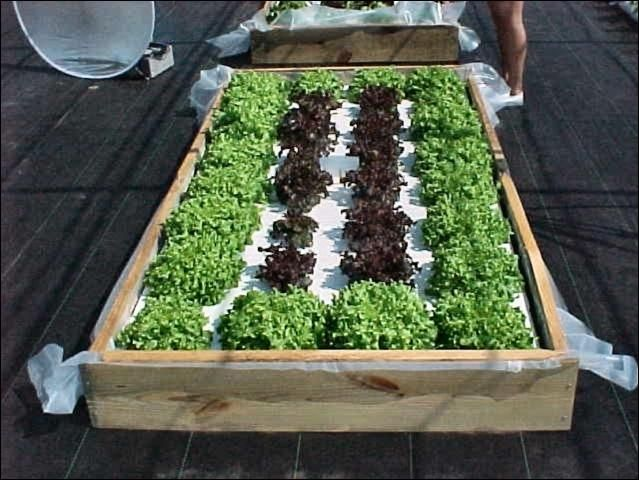 Building a Floating Hydroponic Garden Figure 1 Lettuce in