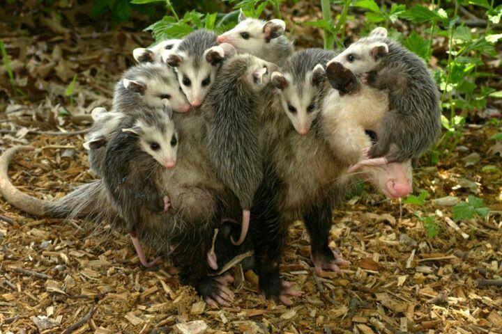 Possum Mommy Covered In Babies Weird Animals Weird Animal Facts Animals
