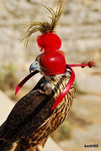 Maltese FalconryPergerine Falcon Hybrid Birds of prey