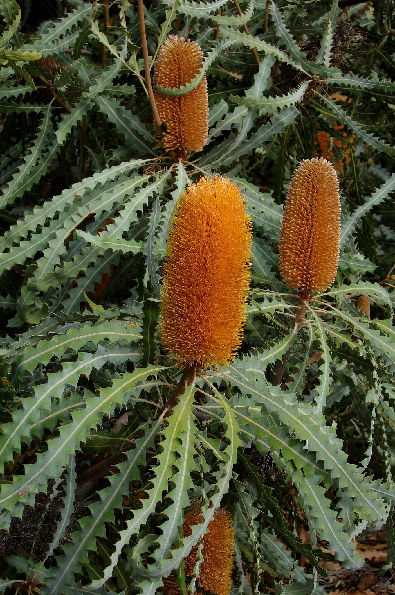 Ashbys Banksia Banksia Ashbyi The Shrub Grows Up To 4 M High And 2 M Wide Native To Western Australia Australian Native Flowers Australian Flowers Australian Plants