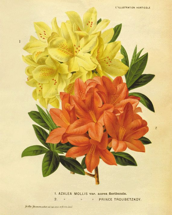 Azalea antique flower print Cottage wall art Victorian print French ...
