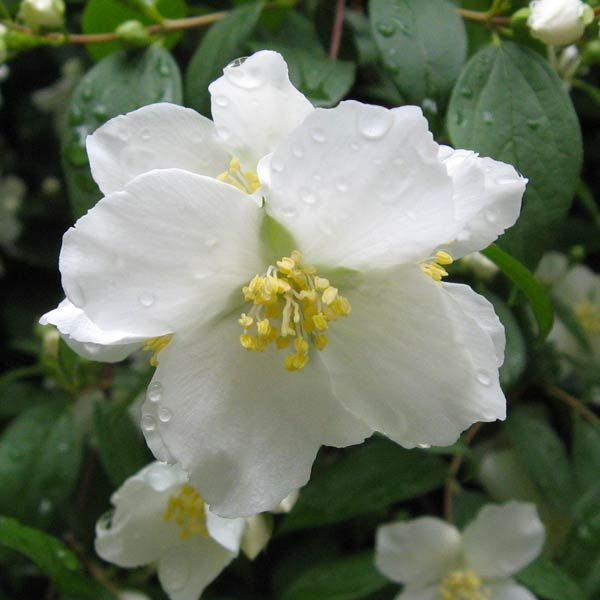 50 state flowers to grow anywhere pinterest mock orange small idaho lewiss mock orange clusters of small white flowers with a rich orange blossom scent bloom from late spring to midsummer mightylinksfo