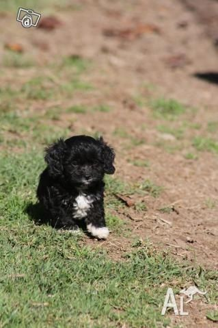Black With A Patch Of White Cavoodle Black Puppy Cute Funny Animals Cute Puppies